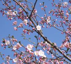 blossom-e1422714464754.png